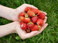 Free Strawberry In Palms Stock Photos - 20100943