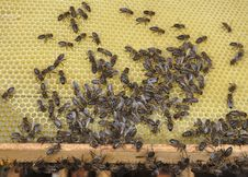Free Bees In A Beehive Stock Images - 20100994
