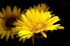 Free Yellow Gerbera Daisies Against Black Stock Photography - 20101142