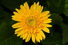Free Yellow Gerbera Daisy With Leaf Background Royalty Free Stock Photos - 20101158