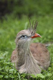 Free Red-legged Seriema Royalty Free Stock Image - 20101476