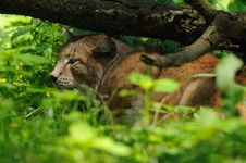 Sleeping Lynx Royalty Free Stock Photo