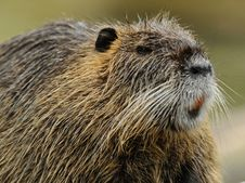 Free Nutria (Myocastor Coypus) Royalty Free Stock Photography - 20102177