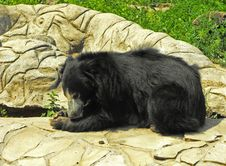 Free Black Bear Royalty Free Stock Photo - 20103085