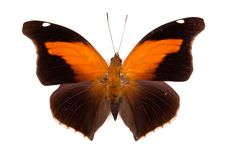 Free Black And Orange Butterfly Historis Odius Stock Photography - 20103262