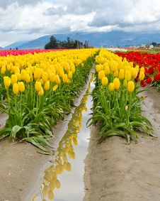 Free Tulip Field. Royalty Free Stock Image - 20103276