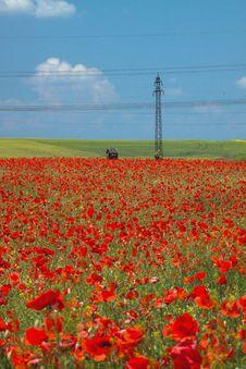Free Poppy Field Stock Photo - 20103280