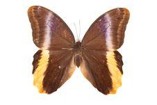 Free Brown And Yellow Butterfly Caligo Atreus Royalty Free Stock Photo - 20103305