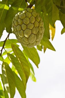 Free Custard Apple Stock Photography - 20104402