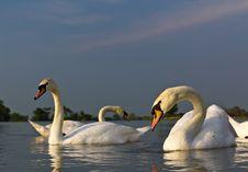 Free White Swan In A Lake Stock Image - 20104591