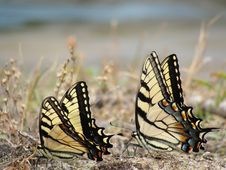 Free Butterflys Royalty Free Stock Image - 20105476
