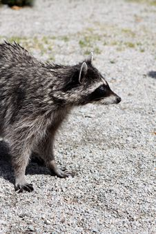 Free Raccoon (Procyon Lotor) Stock Photos - 20106003