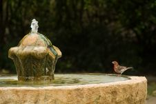 Free Red  Bird Sets On Edge Of Old Fountain Staring Up Stock Photography - 20106872