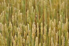 Free Wheat Background Royalty Free Stock Images - 20107319