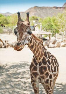 Free Giraffe Stock Images - 20107444