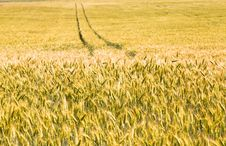 Free Yellow Wheat Royalty Free Stock Photography - 20107457