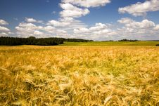 Free Field With Oats Royalty Free Stock Images - 20107529