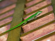 Free Gecko Royalty Free Stock Photos - 20107898