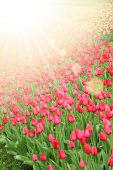 Free Tulips Stock Photography - 20107962