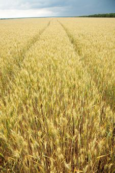 Free Close Up Shot Of Wheat Stalk Royalty Free Stock Photo - 20108005