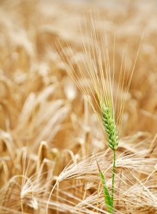 Free Yellow Wheat Field. Royalty Free Stock Photo - 20108045