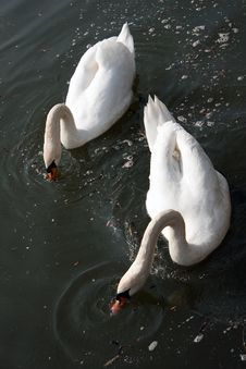 Free Two Swans Feeding Royalty Free Stock Photo - 20108805