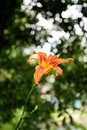 Free Tiger Lily Stock Images - 20114364