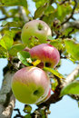 Free Three Pink Apples On The Tree Royalty Free Stock Images - 20115839