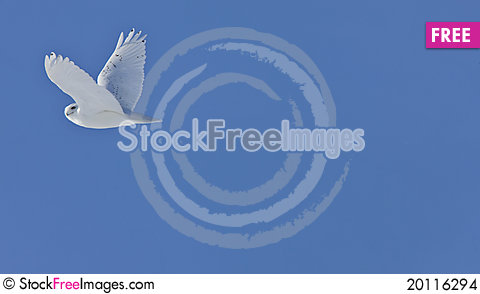 Free Snowy Owl Stock Images - 20116294