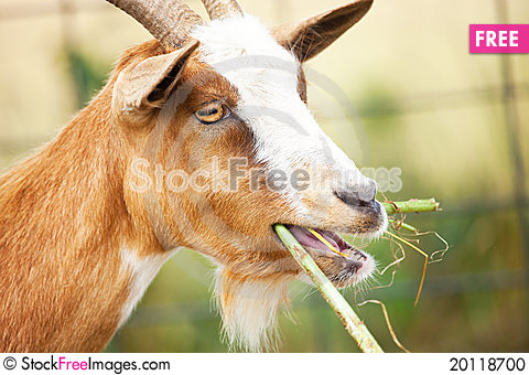Free Nanny Goat Chewing Stock Photo - 20118700