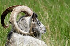 Free Old Goat Royalty Free Stock Photo - 20113855