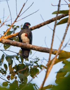 Free The Red-throated Caracara Royalty Free Stock Photos - 20114398