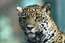 Free Jaguar Stock Photo - 20115140