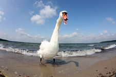 Free Swan Attack Stock Photos - 20115403