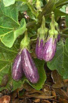 Free Fairy Tale Eggplant (Solanum Melongena) Stock Images - 20115954