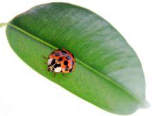 Free Ladybug On Green Leaf Stock Photo - 20115960