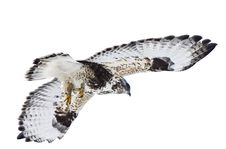 Free Rough Legged Hawk In Flight Royalty Free Stock Image - 20116366