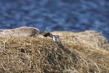Free Canada Goose In Nest Stock Photo - 20117170