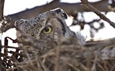 Free Great Horned Owl In Nest Royalty Free Stock Photos - 20117188