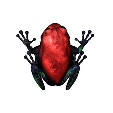 Free Red Poison Dart Frog Stock Photos - 20117353