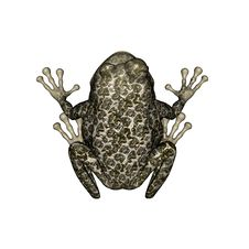 Free Poison Dart Frog Royalty Free Stock Photography - 20117367