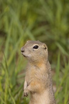 Free Richardson Ground Squirrel Stock Photos - 20117443