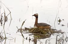 Free Horned Grebe Stock Photography - 20117462