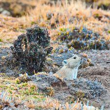 Free Marmots Stock Photo - 20118530