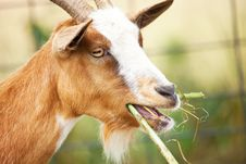 Nanny Goat Chewing Stock Photo