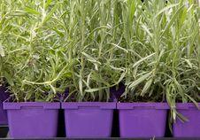 Lavender Plants Royalty Free Stock Photo