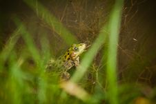 Free Green Leopard Frog Royalty Free Stock Photo - 20118725