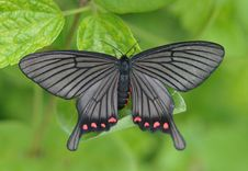 Free Moth(Epicopeiidae;pug Moths ) Stock Images - 20119584