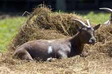 Free Lazy Goat Stock Images - 20119764