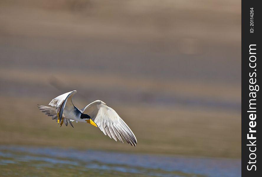 A Large-billed Tern on flight